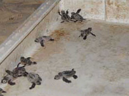 Hatchlings that are ready for release.
