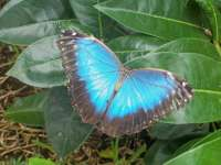 Blue Morpho at Rest