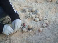 Volunteer counting turtle eggs and hatches
