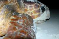 Turtles eyes cry tears when out of the sea