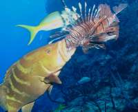 Grouper Learning to Feed on Lionfish
