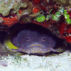 """Splendid Toadfish"" - Copyright © Brian Lasenby"